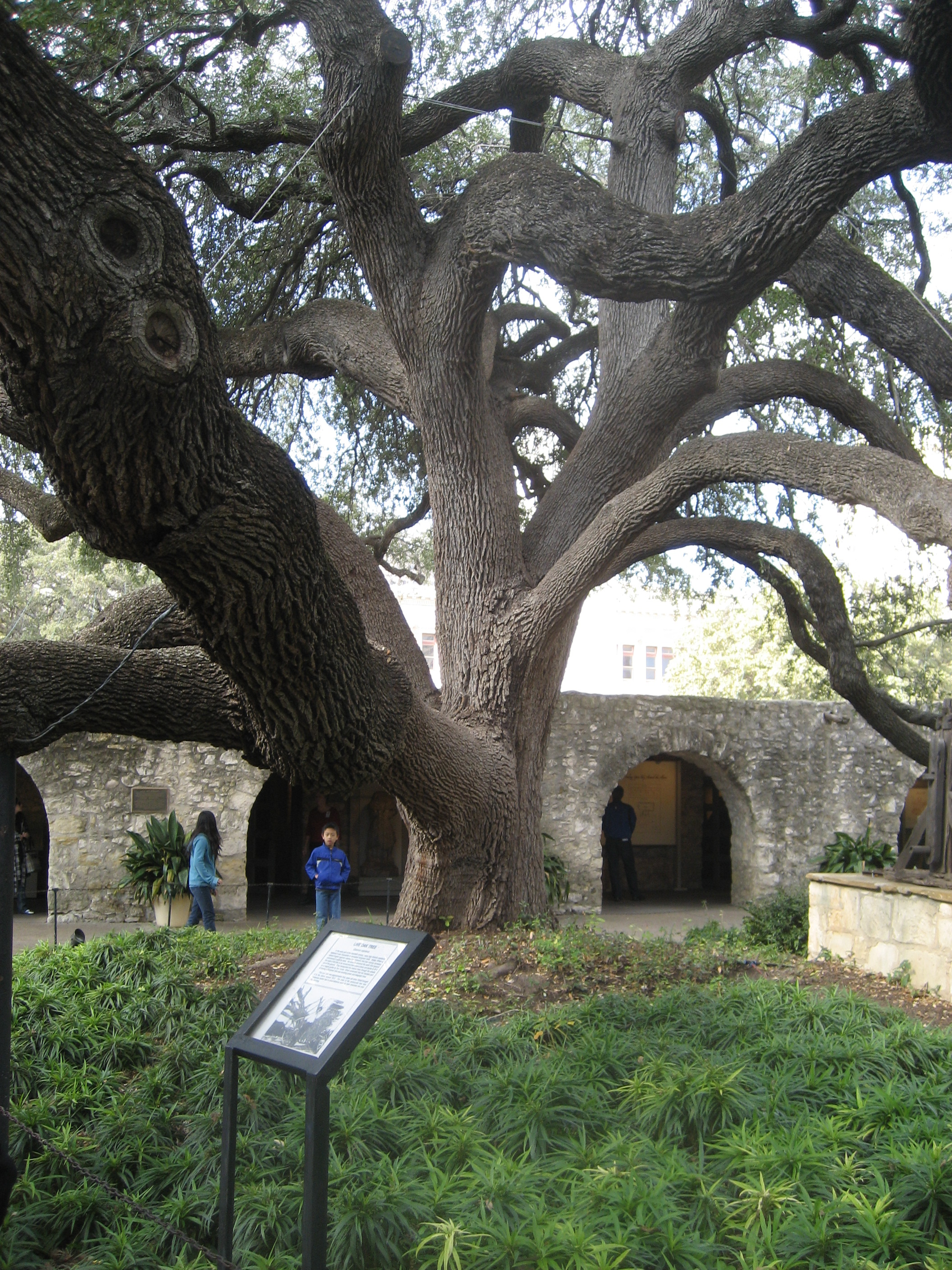 Alamo courtyard with cool tree!