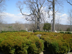 Another view of the shrubbery and poplar trees at Poplar Forest