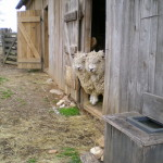 Don't get too close to Momma Sheep!