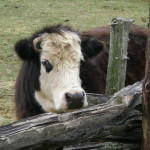 Emma the cow. She looked friendlier in person.